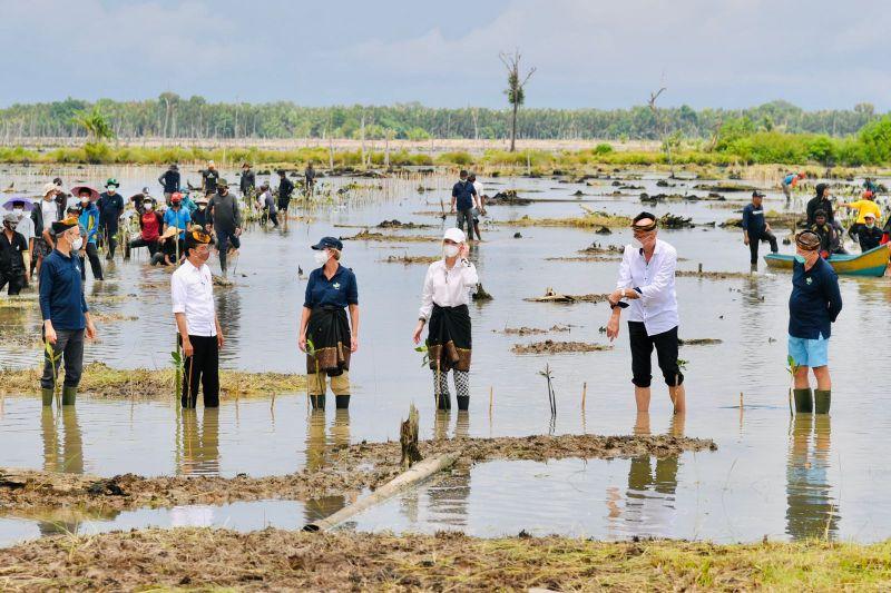 Presiden Joko Widodo tanam mangrove bersama para dubes di Tana Tidung