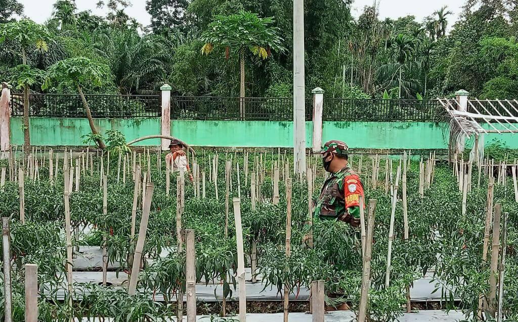 Babinsa Blang Mangat, dampingi petani cabai wujudkan ketahanan pangan